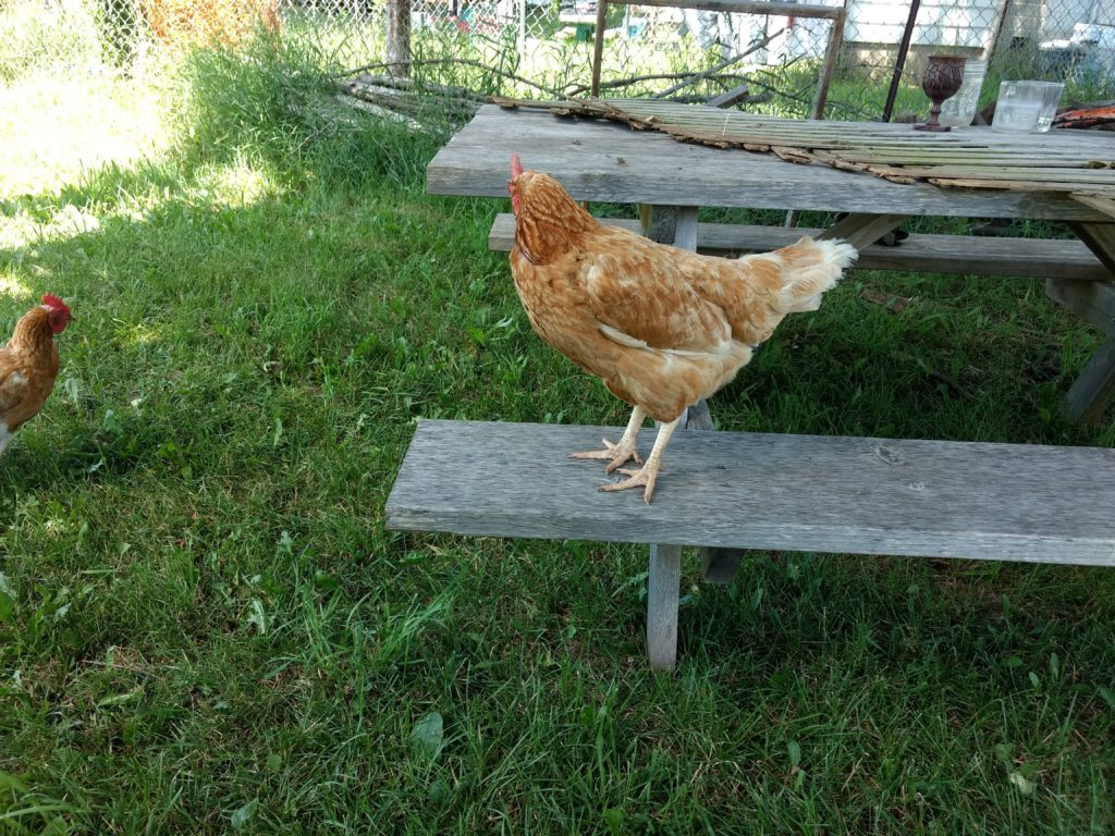chicken on a bench