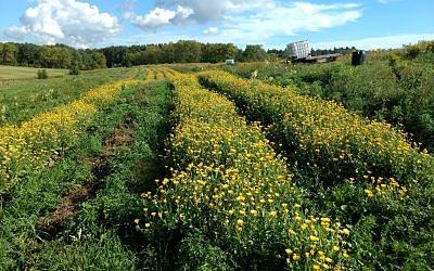 rows of calendula growing at Hear's Content Organic Farm